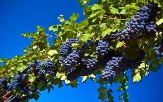 Развитие виноградарства в России