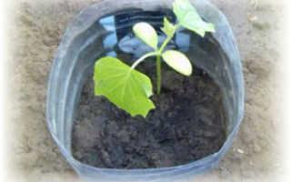 Огурцы в бутылке 5 литров выращивание