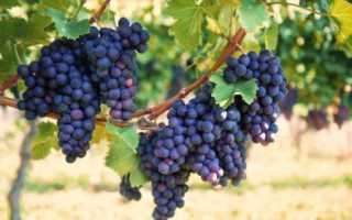 Русский фиолетовый сорт винограда
