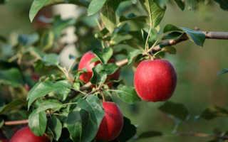 Сорт моди яблоки отзывы
