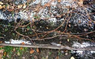 При какой температуре укрывать виноград в сибири