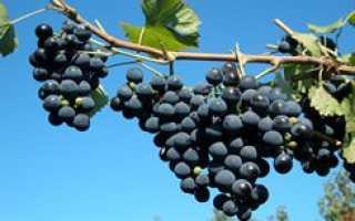 Виноград в башкирии сорта фото