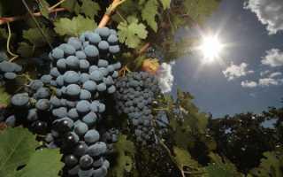 Мускат ливадия виноград описание