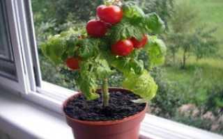 Помидоры черри выращивание дома