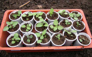 Вырастить картофель из семян за один сезон