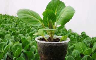 Сажаем цветную капусту на рассаду