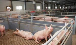 Возраст свиньи для забоя
