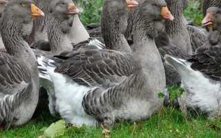 Гуси все породы гусей с фото