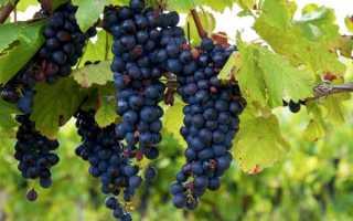 Виноград изабелла вредные свойства