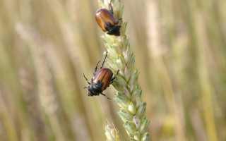 Осенние болезни озимой пшеницы