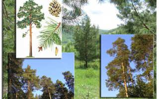 Сосна какая порода дерева