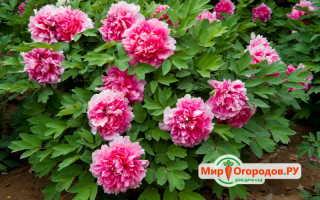 Пион древовидный rou fu rong розовый лотос