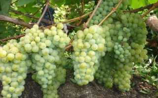Виноград и сад на даче