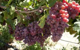 Посадка саженцев винограда осенью в грунт
