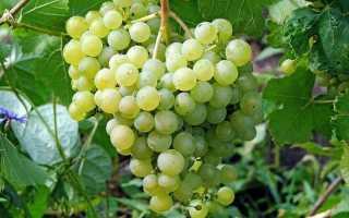 Сорт винограда алешенькин видео