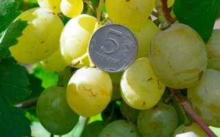 Виноград песня описание сорта фото отзывы