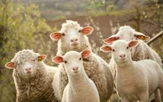 Сонник к чему снятся овцы