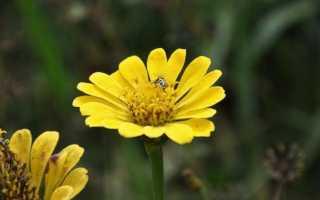 Цветы панычи правильное название