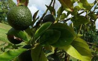 Рецепты из авокадо и как готовить авокадо