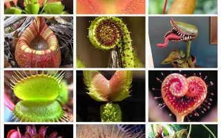 Насекомоядные растения получают от насекомых