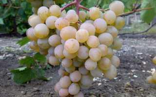Краса дона сорт винограда