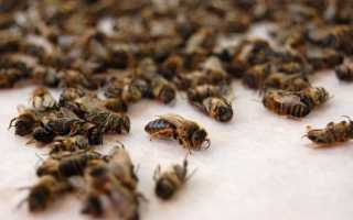 Настойка на пчелах полезные свойства