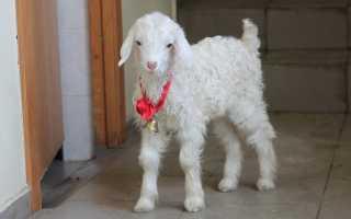 Что дает коза человеку