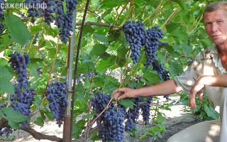 Где купить виноградный сорт ведьмины пальцы