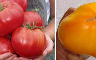 Низкорослые томаты сибирской селекции очень урожайные
