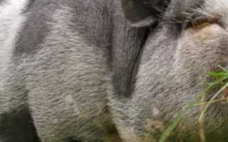 Сколько кормов съедает свинья в день
