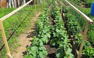 Огурцы секреты выращивания в открытом грунте