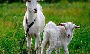 Порода коз с сережками на шее