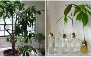 Растение авокадо в домашних условиях как ухаживать