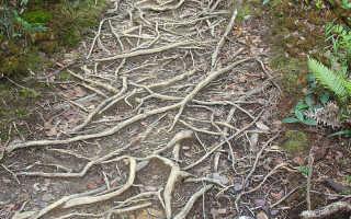 Тропическое дерево с разросшейся кроной поддерживаемой многочисленными