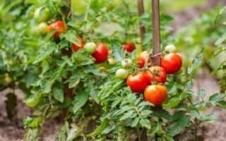 После чего нельзя сажать помидоры