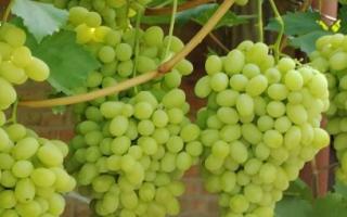 Виноград ландыш описание сорта фото отзывы видео