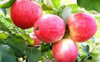 Анабель сорт яблок описание