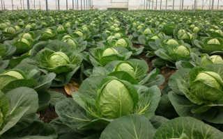 Зимние сорта капусты для квашения