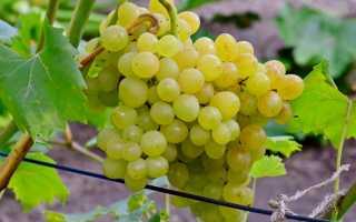 Виноград плодовый кишмиш 342