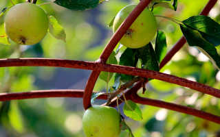 Что вырастет из семечки яблока