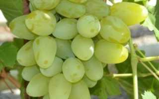 Сорт винограда бажена фото и описание