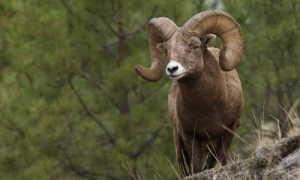 Чем отличаются овцы от баранов