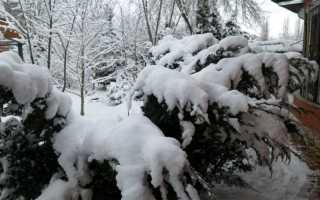 Как укрыть на зиму молодой можжевельник