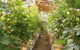 Посадка винограда в теплице для начинающих