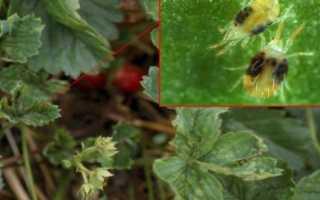 Борьба с вредителями смородины весной