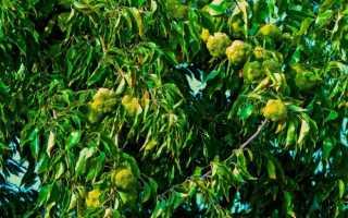 Лечебные свойства маклюры адамово яблоко