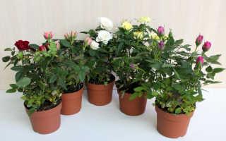 Почему вянут розы в горшке после покупки