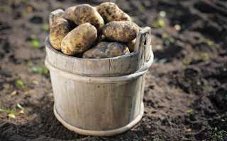 К чему снится свежий картофель