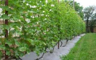 Посадка и выращивание винограда