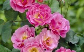 Плетистая роза купить почтой